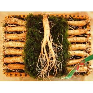 Sâm Tươi Hàn Quốc từ 14 đến 18 củ/kg